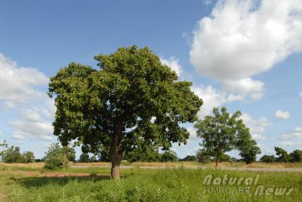 Shea Nut Tree